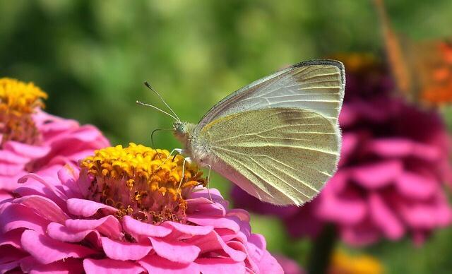 Kelebek Konsa